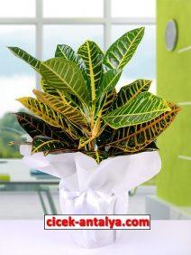 craton-bitki-212x282 İşyeri İçin Çiçek