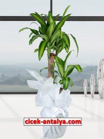 dracena-massengena-ikili-212x282 İşyeri İçin Çiçek