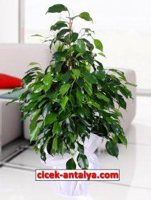 ficus-benjamin-212x282 İşyeri İçin Çiçek