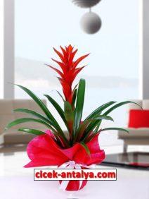 guzmania-212x282 İşyeri İçin Çiçek