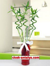 kirmizi-napoli-vazoda-sans-bambulari-212x282 İşyeri İçin Çiçek